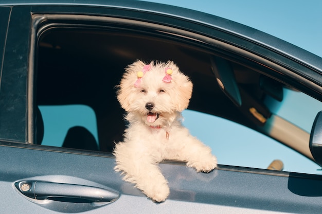 A side view of a happy french poodle mini puppy dog with hair clips looking out of a car window with the tongue out