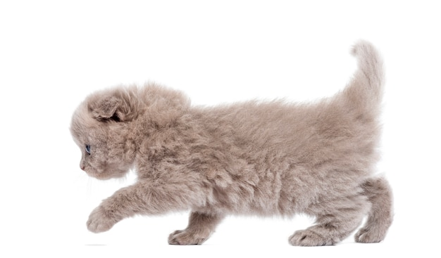 Side view of a highland fold kitten walking isolated on white