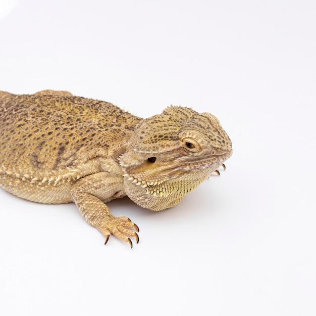 Vista laterale dell'iguana con copia spazio