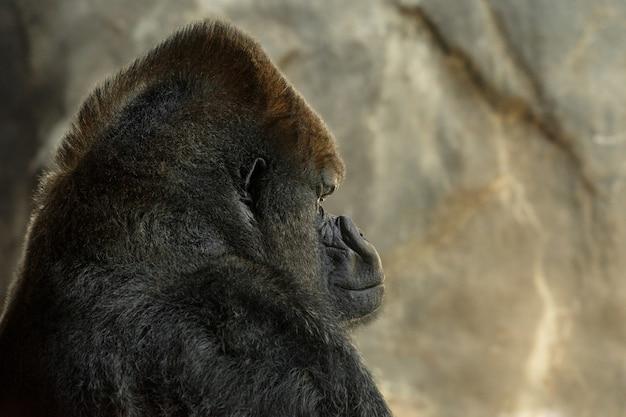 Vista laterale di un grande gorilla con il sole incandescente sulla parte anteriore del suo viso e sopra la sua testa