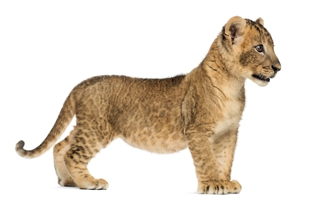 Side view of a lion cub standing isolated on white