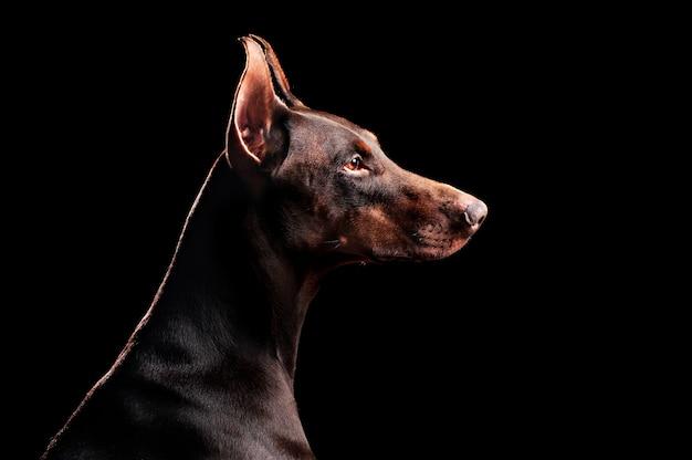 Боковой вид портрета собаки добермана