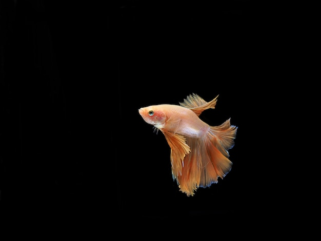 Side view of low orange fighting fish on black background