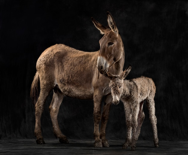 Side view of a mother provence donkey and her foal against a black background
