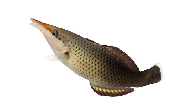 흰색에 고립 된 최대 수영, gomphosus varius, 조류 기 여성의 측면보기