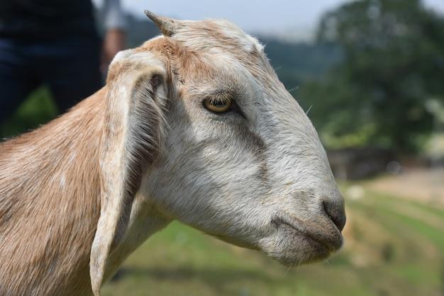 농장에 짧은 뿔이 있는 갈색 염소의 측면 보기