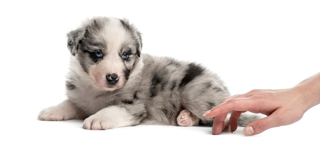 Вид сбоку на помесного щенка и человеческой руки, играющей изолированно на белом