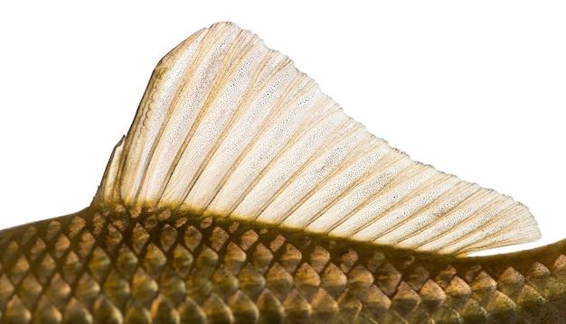 白で隔離されたフナの背びれ、carassiuscarassiusの側面図