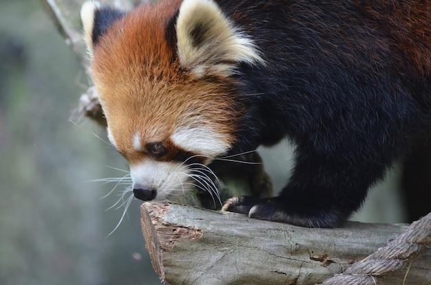 긴 수염을 가진 귀여운 붉은 팬더 곰의 옆모습.