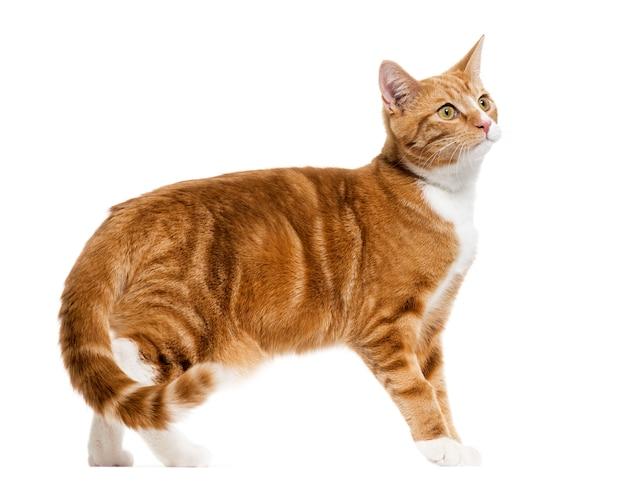 생강 혼합 품종 고양이 서, 흰색 절연의 측면보기