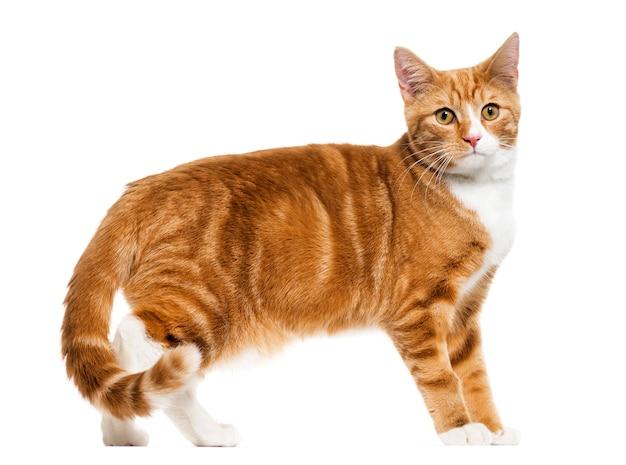 白で隔離、立っている生姜混血猫の側面図