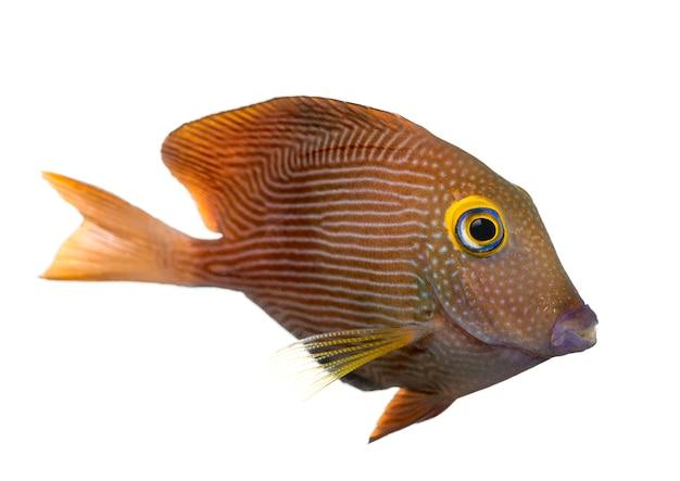 콜레 탕, ctenochaetus strigosus, 흰색 절연의 측면보기