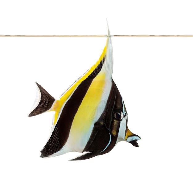 흰색에 고립 된 물 라인, heniochus acuminatus에서 수영하는 페넌트 coralfish의 측면보기