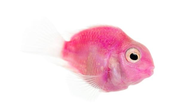 白で隔離されるピンクの淡水魚の水泳の側面図