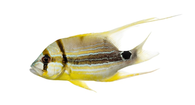 Sailfin 도미, symphorichthys spilurus, 흰색 절연의 측면보기