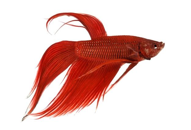 白い表面に対するシャムの戦いの魚、ベタスプレンデンスの側面図