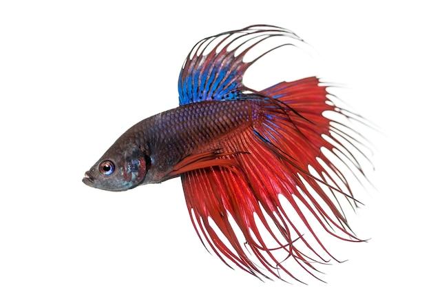 흰색에 고립 된 샴 싸우는 물고기, betta splendens의 측면보기