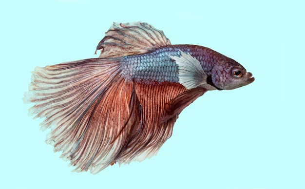 파란색 표면에 샴 싸우는 물고기, betta splendens의 측면보기