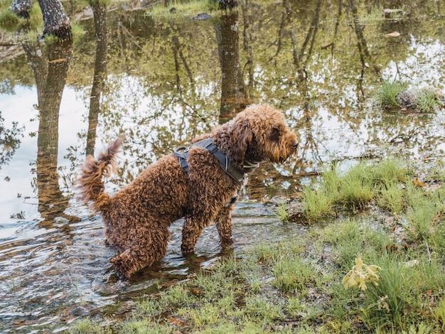 ラグーンのポイントに立っている羊毛の子犬の側面図。湖の水の中に立っているハーネスと茶色の子犬。