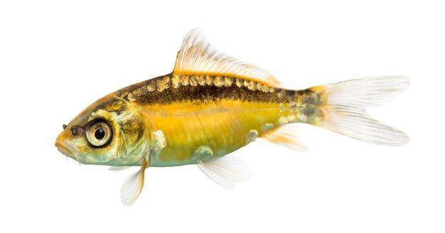 白で隔離される黄色い鯉の側面図