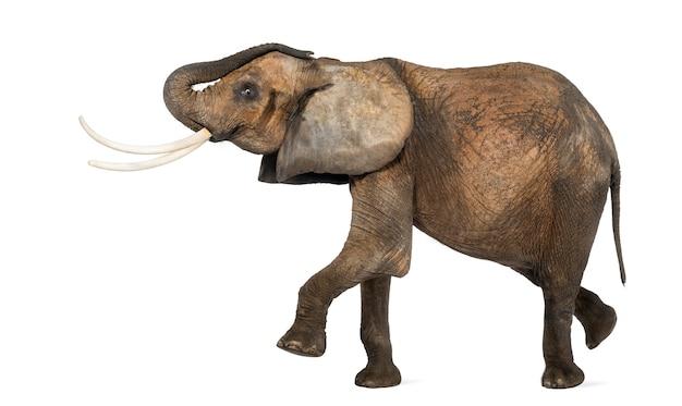 白で隔離され、実行するアフリカ象の側面図