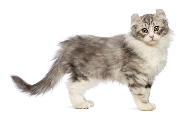 Вид сбоку котенка американского керла (3 месяца), смотрящего на камеру