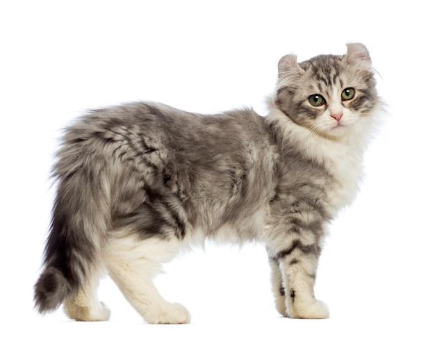 Вид сбоку котенка породы американский керл (3 месяца)