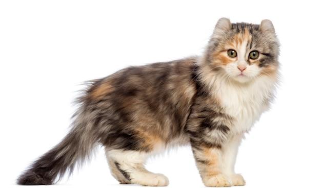 Боковой вид американского керл котенка (3 месяца) стоя и смотря