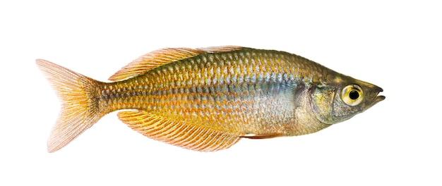 동부 rainbowfish, melanotaenia splendida splendida, 흰색 절연의 측면보기