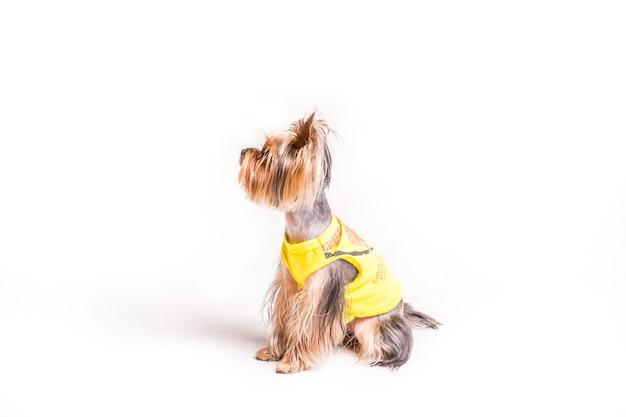 Вид сбоку милый йоркшир с желтым пальто, изолированных на белом фоне