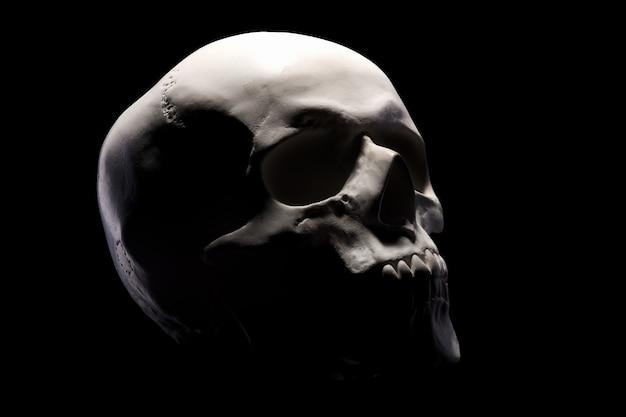 인간 두개골의 석고 모델의 측면보기
