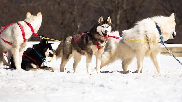 Вид сбоку хаски отдыхает в собачьей упряжке в зимний день