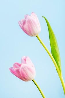 Вид сбоку розовых цветных тюльпанов, изолированных на синем столе