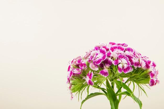 コピースペースと白い背景で隔離の紫色の甘いウィリアムまたはトルコのカーネーションの花の側面図