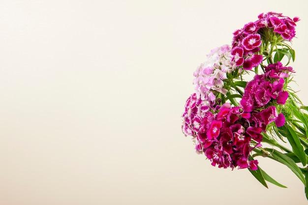 紫の甘いウィリアムまたはトルコのカーネーションの花のコピースペースと白い背景で隔離の側面図