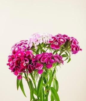 紫色の甘いウィリアムまたは白い背景で隔離されたトルコのカーネーションの花の側面図