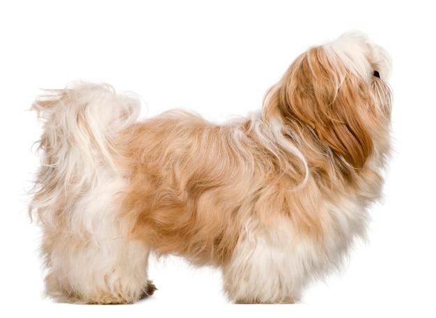 1歳のシーズーの側面図。分離された犬の肖像画