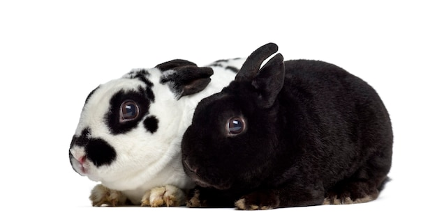 白で隔離された2匹の矮星レックスウサギの側面図
