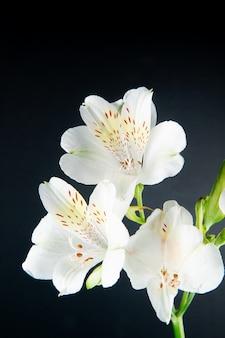 검은 배경에 고립 된 흰색 alstroemeria 꽃의 모습