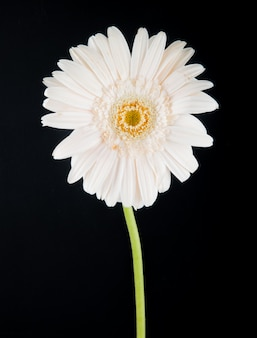 Вид сбоку белого цвета цветка герберы на черном фоне