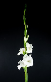 黒の背景に分離された白いグラジオラス花の側面図