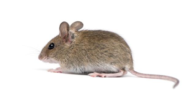Вид сбоку лесная мышь Premium Фотографии