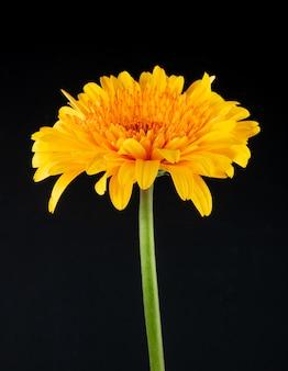 Вид сбоку желтого цвета цветка герберы на черном фоне