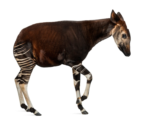 Side view of an okapi standing in a funny position, okapia johnstoni, isolated on white