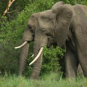 2つの象の頭の側面図