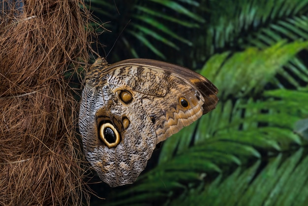 Side view owl butterfly on palm tree trunk