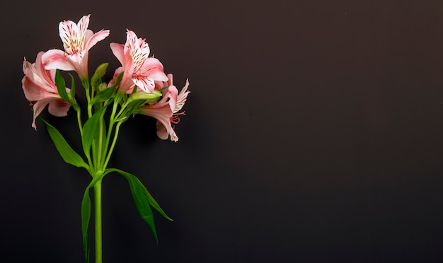 Side view of pink color alstroemeria flowers isolated on black background with copy space