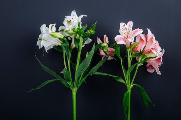Side view of pink and white color alstroemeria flowers isolated on black background