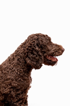 Side view poodle with open mouth