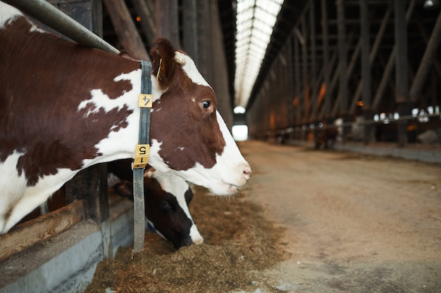 Side view portrait of beautiful healthy cow with tag collar feeding while standing in animal pen at dairy farm, copy space